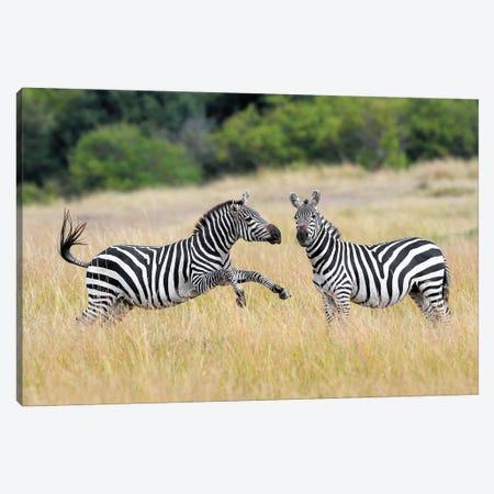 Payfighting Zebras Canvas Print #ELM311} by Elmar Weiss Canvas Artwork