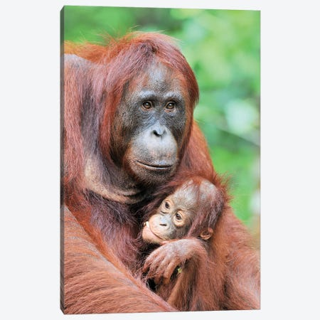 Motherlove - Orangutans Canvas Print #ELM315} by Elmar Weiss Canvas Print