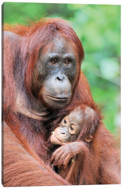 Motherlove - Orangutans Canvas Art Print