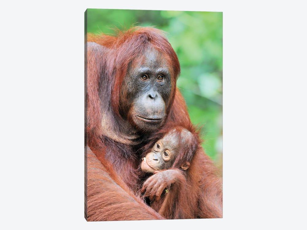 Motherlove - Orangutans by Elmar Weiss 1-piece Canvas Art