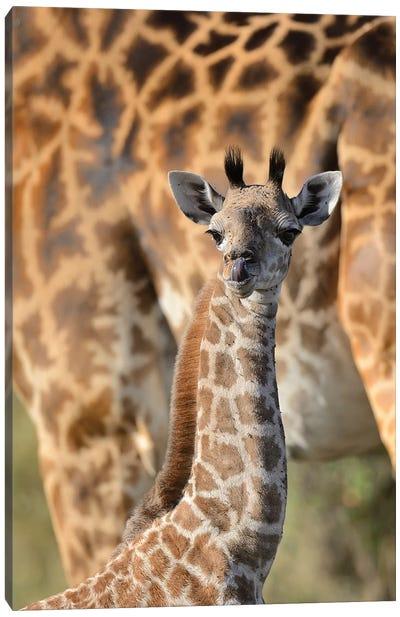 Newborn Giraffe Canvas Art Print