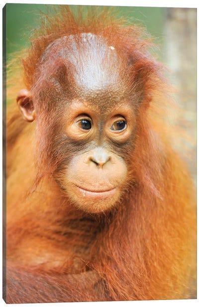 Orangutan Baby Portrait Canvas Art Print