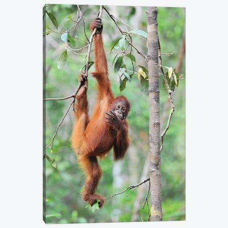 Orangutan Brachiation Canvas Print #ELM325} by Elmar Weiss Canvas Wall Art
