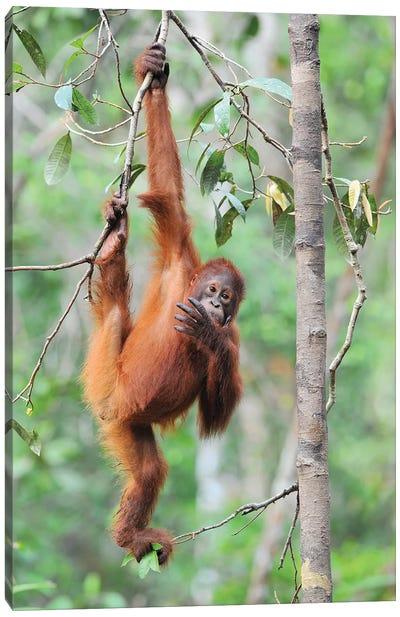Orangutan Brachiation Canvas Art Print
