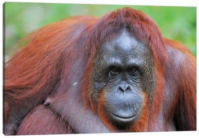 Orangutan Close Up And Personal Canvas Art Print