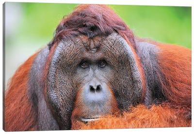 Orangutan Dominant Male Canvas Art Print