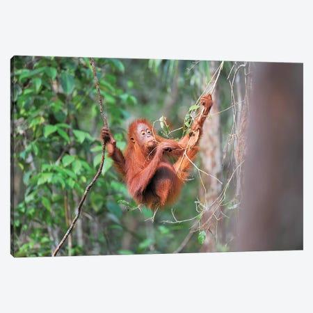 Orangutan Gourmet Canvas Print #ELM329} by Elmar Weiss Canvas Print