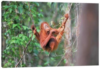 Orangutan Gourmet Canvas Art Print