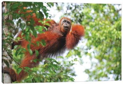 Orangutan In The Trees Canvas Art Print