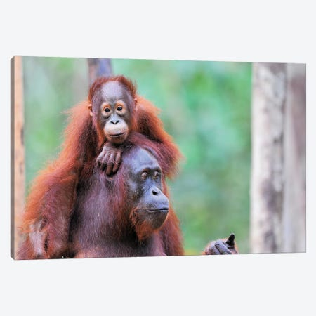 Orangutan Mom And Child Canvas Print #ELM331} by Elmar Weiss Canvas Artwork