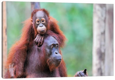 Orangutan Mom And Child Canvas Art Print