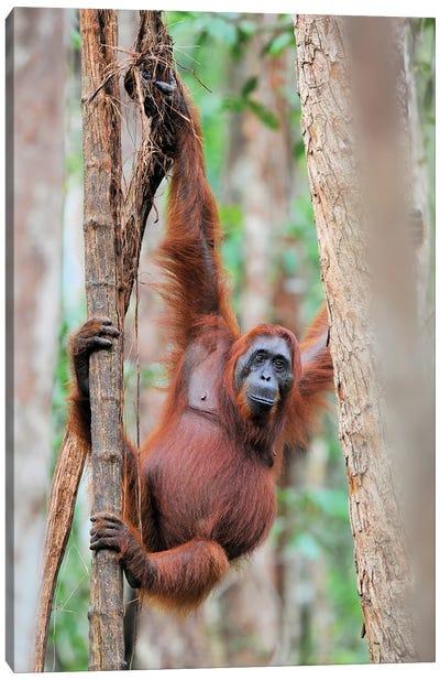 Orangutan Shimmy In The Trees Canvas Art Print