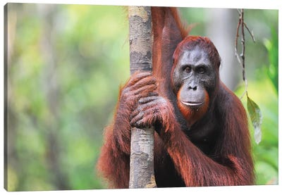 Orangutan Straight View Canvas Art Print