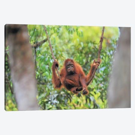 Orangutan Youngster Sitting On A Liana Canvas Print #ELM334} by Elmar Weiss Canvas Print