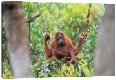 Orangutan Youngster Sitting On A Liana Canvas Art Print
