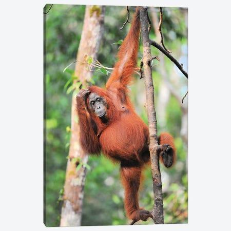 Orangutans In The Trees Canvas Print #ELM335} by Elmar Weiss Art Print