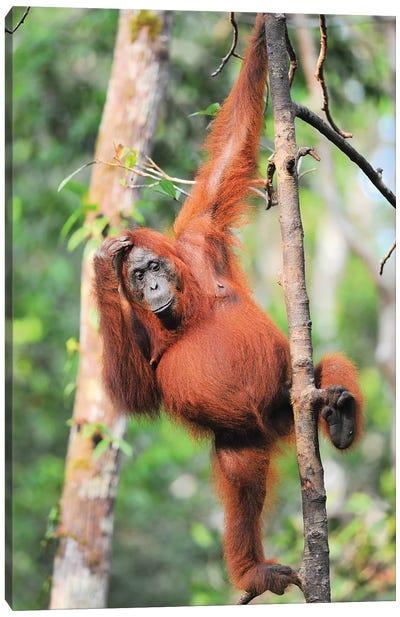Orangutans In The Trees Canvas Art Print