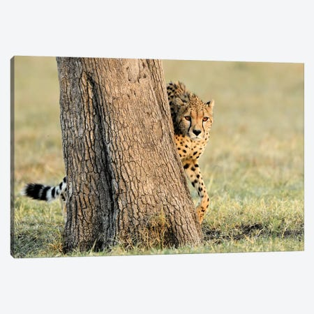 Peek A Boo Cheetah Canvas Print #ELM337} by Elmar Weiss Canvas Art Print