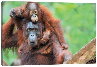 Pickaback Orangutans Canvas Art Print
