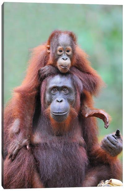 Piggyback - Orangutan Mom And Child Canvas Art Print
