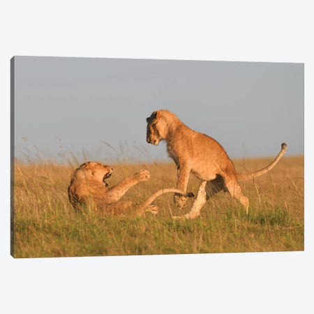Playfighting Lion Cubs Canvas Print #ELM342} by Elmar Weiss Canvas Print