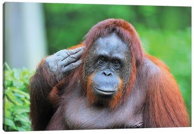 Posing Orangutan Canvas Art Print