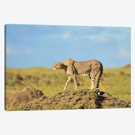 Prey In Sight - Cheetah Canvas Print #ELM346} by Elmar Weiss Canvas Artwork