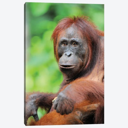 Relaxed Orangutan Canvas Print #ELM347} by Elmar Weiss Canvas Wall Art