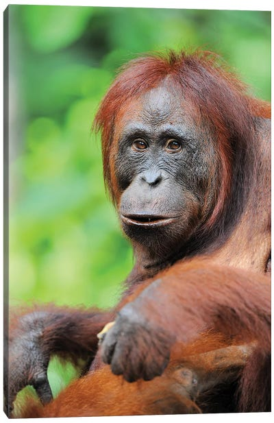 Relaxed Orangutan Canvas Art Print