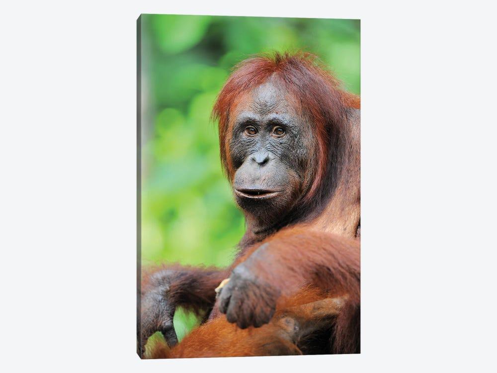 Relaxed Orangutan by Elmar Weiss 1-piece Art Print