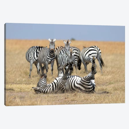 Relaxing Zebra Canvas Print #ELM348} by Elmar Weiss Canvas Print