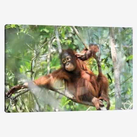 Resting Orangutan Youngster Canvas Print #ELM351} by Elmar Weiss Canvas Art