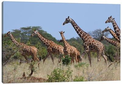 Reticulated Giraffe Herd Canvas Art Print