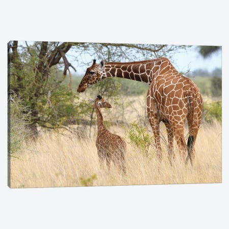 Reticulated Giraffe Mother And Child Canvas Print #ELM353} by Elmar Weiss Canvas Wall Art