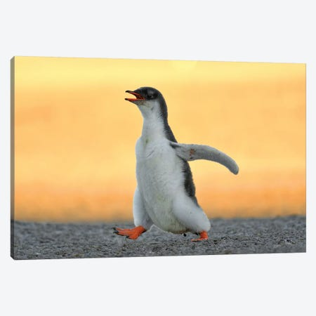 Running Gentoo Penguin Chick Canvas Print #ELM355} by Elmar Weiss Canvas Art Print
