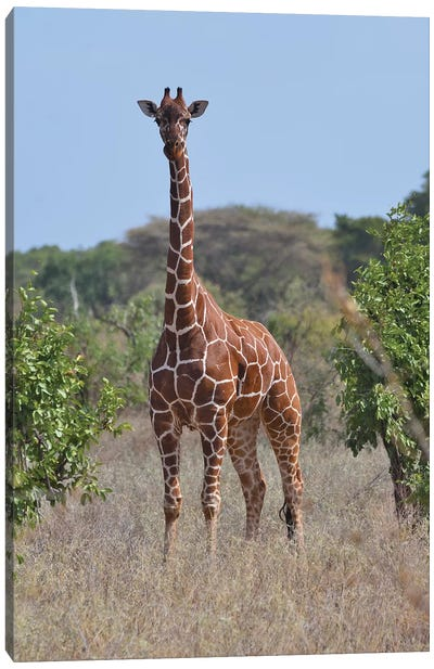 Reticulated Giraffe Frontal Canvas Art Print