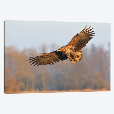 Sea Eagle In Flight Canvas Print #ELM361} by Elmar Weiss Canvas Art Print