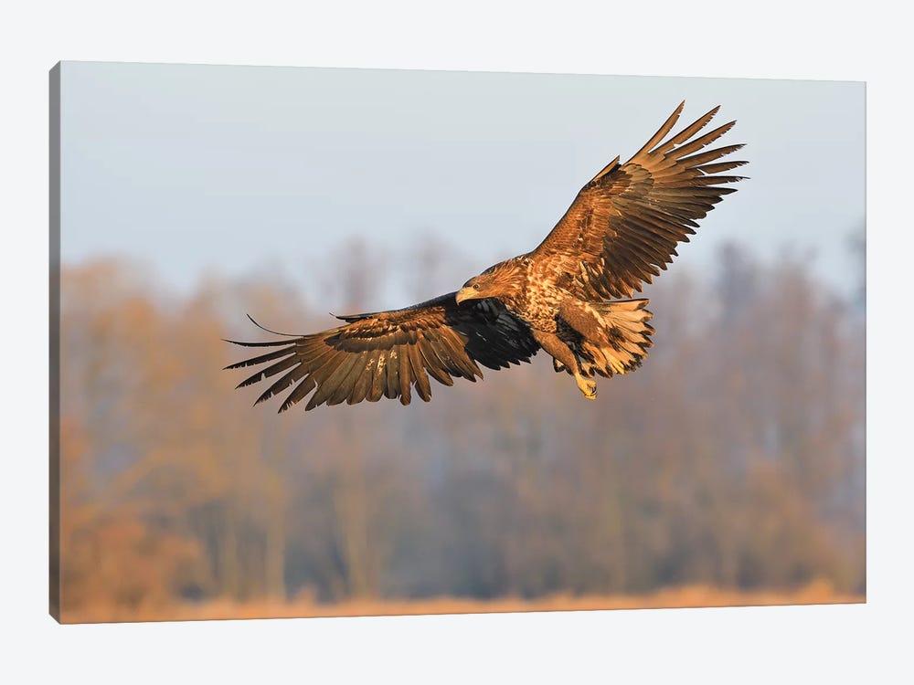 Sea Eagle In Flight by Elmar Weiss 1-piece Art Print