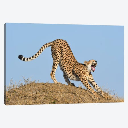 Streching Cheetah Canvas Print #ELM374} by Elmar Weiss Canvas Print