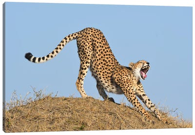 Streching Cheetah Canvas Art Print