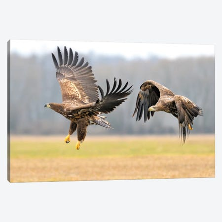Two White-Tailed Eagles In Flight Canvas Print #ELM384} by Elmar Weiss Canvas Wall Art