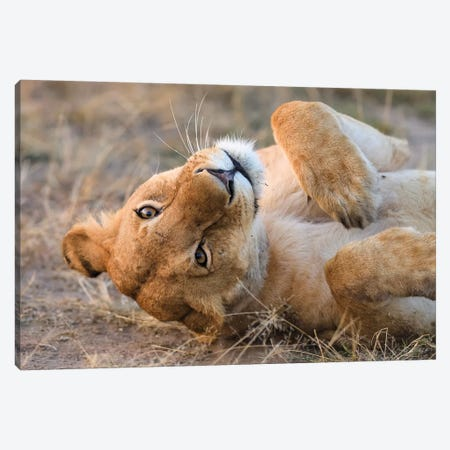 Upside Down Lioness Canvas Print #ELM387} by Elmar Weiss Canvas Art