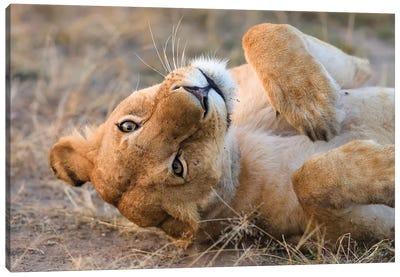 Upside Down Lioness Canvas Art Print