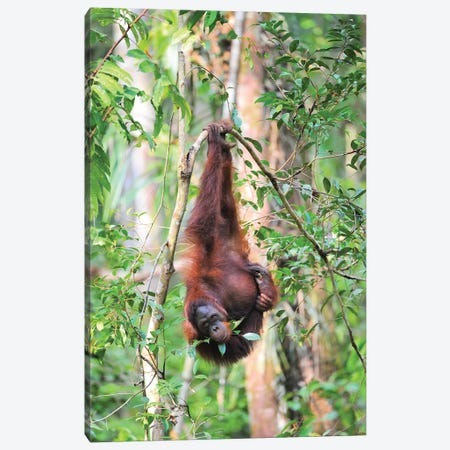 Upside Down Orangutan Canvas Print #ELM388} by Elmar Weiss Canvas Print