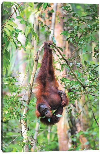 Upside Down Orangutan Canvas Art Print