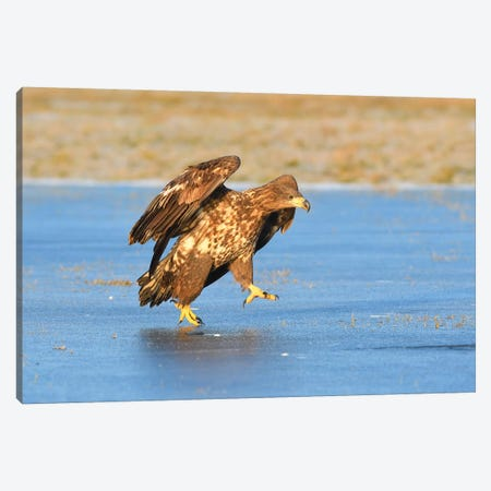 White-Tailed Eagle On Ice Canvas Print #ELM389} by Elmar Weiss Art Print