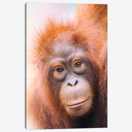 Young Orangutan Portrait Canvas Print #ELM392} by Elmar Weiss Canvas Art