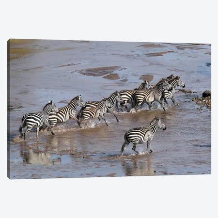 Zebras Crossing A River Canvas Print #ELM397} by Elmar Weiss Canvas Print