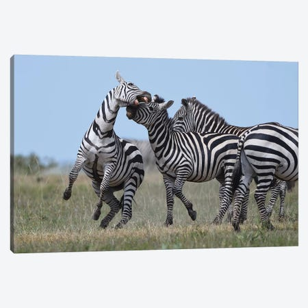 Fighting Zebras Canvas Print #ELM41} by Elmar Weiss Canvas Wall Art