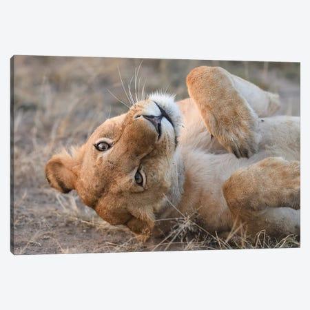 Funny Lioness Canvas Print #ELM44} by Elmar Weiss Canvas Art Print